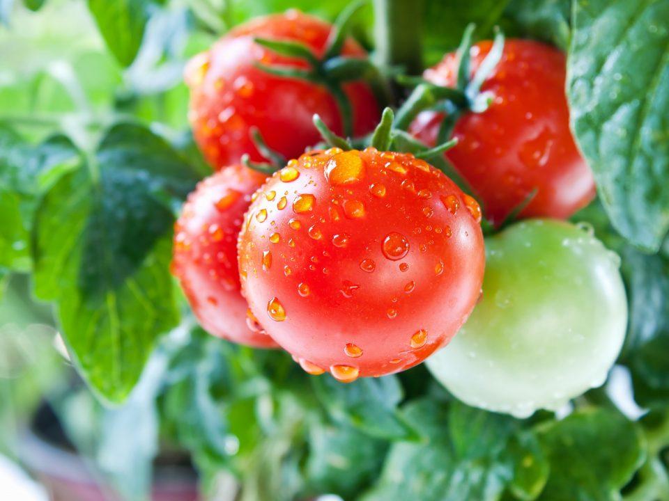 tomato pics